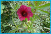 Hibiscus cannabinus.png