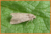 Spodoptera exigua.png