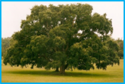 Quercus suber.png