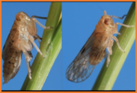 Brown Planthopper.png